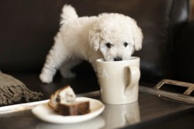 Photo of toy poodle with mug of tea. Photo credit:http://cutearoo.com/2012/03/07/puppy-drinks-from-mug/